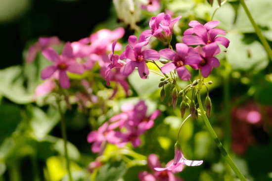 Vinagrillo rosado/Pink sorrel
