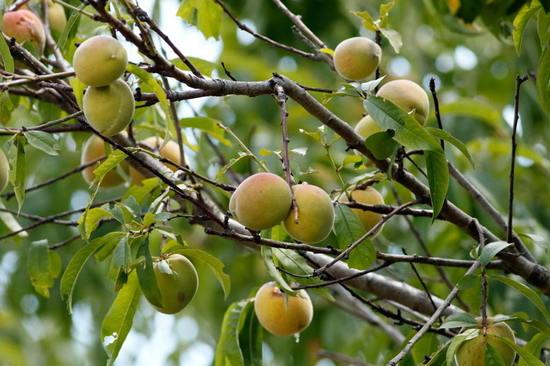 Duraznero/Peach tree