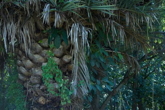 Higuerón/Wild fig tree