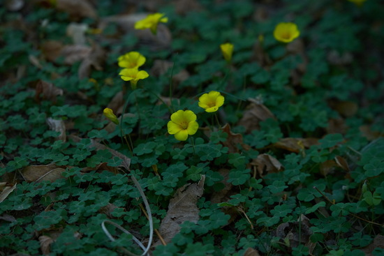 Macachín amarillo/Yellow sorrel