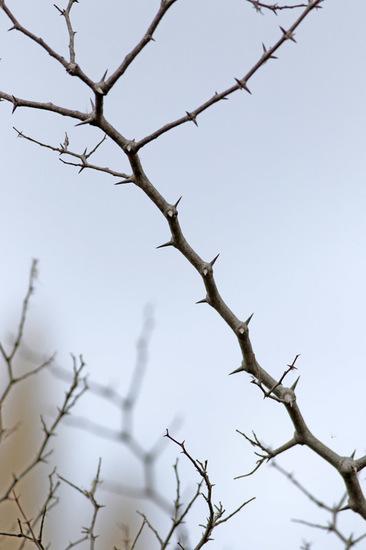 Tala/Desert hackberry