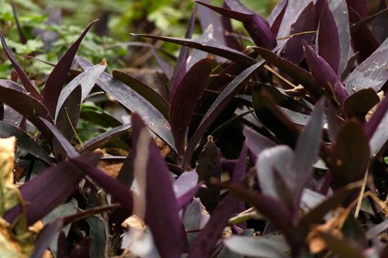 Tradescantia púrpura/Purple wandering jew