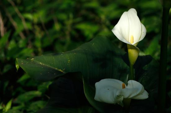 Cala/Calla lily