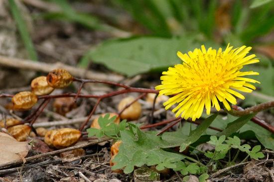 Diente de león/Common dandelion