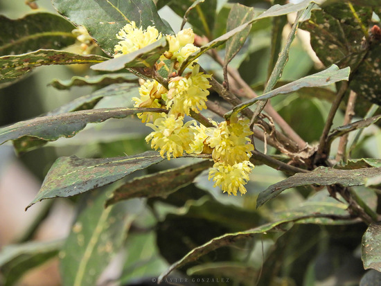 Laurel común/Bay tree