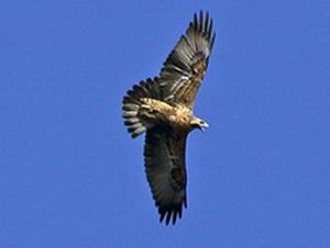 Águila mora (j)