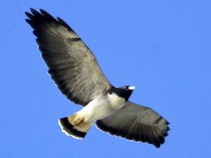 Aguilucho alas largas
