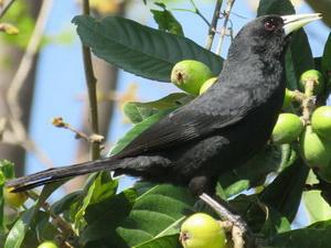 Boyero negro