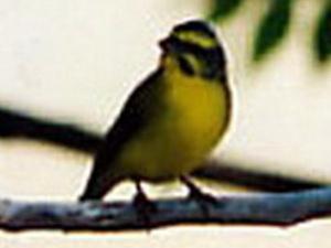 Canario de Mozambique