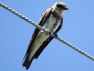 Golondrina parda