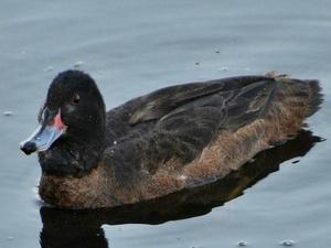Pato cabeza negra
