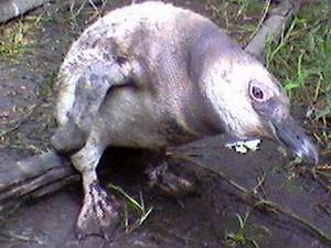 Pingüino patagónico (j)
