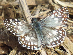 Orcus checkered skipper/Pyrgus orcus