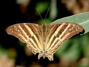 Many-banded Daggerwing/Marpesia chiron