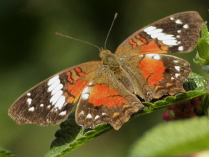 Princesa roja/Anartia amathea