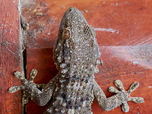 Common Wall Gecko