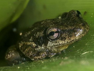 Dwarf snouted tree frog