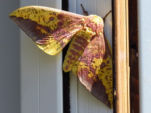 Imperial moth/Eacles imperialis magnifica