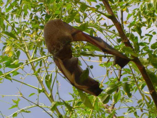 Murciélago escarchado/Hoary Bat