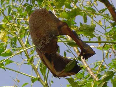 Murciélago escarchado