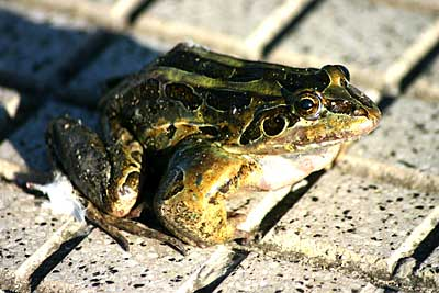 Spotted Thin-toed Frog