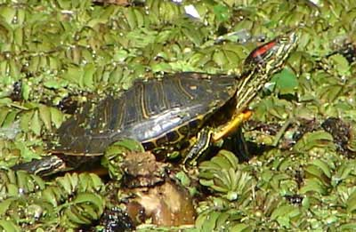 Red-eared Turtle