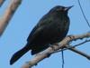 Varillero negro