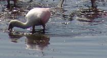 Espátula rosada/Roseate Spoonbill