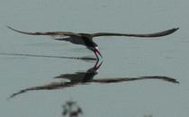 Rayador/Black Skimmer