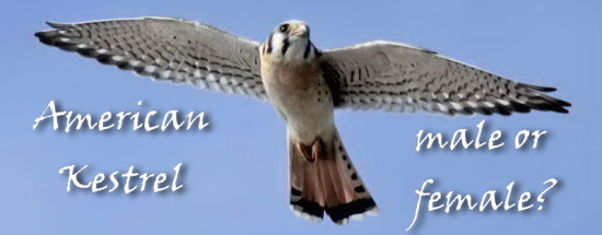 American Kestrel - male or female