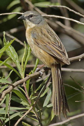 Cachilo canela/Long-tailed Reed-Finch