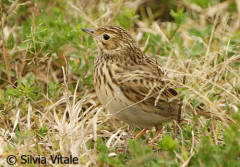 Cachirla uña corta/Short-billed Pipit