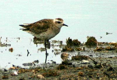 Chorlo pampa/American Golden Plover
