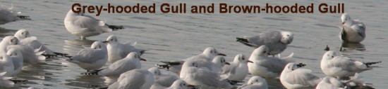 Grey- and Brown-hooded Gulls