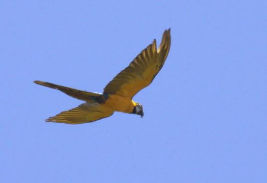 Guacamayo azul y amarillo/Blue-and-yellow Macaw