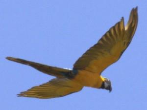 Guacamayo axul y amarillo/Blue-and-Yellow Macaw