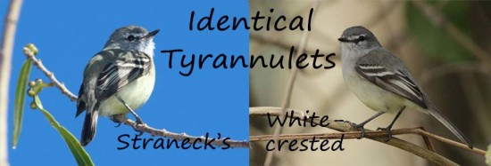 identical tyrannulets