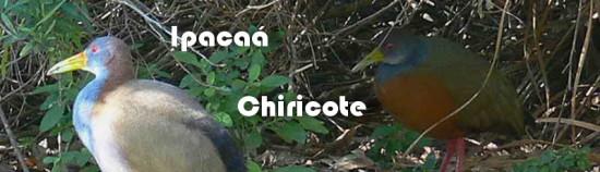 Ipacaá-Chiricote