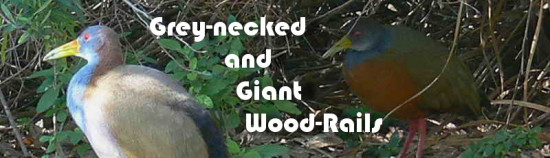 Giant & Grey-necked Wood-Rails