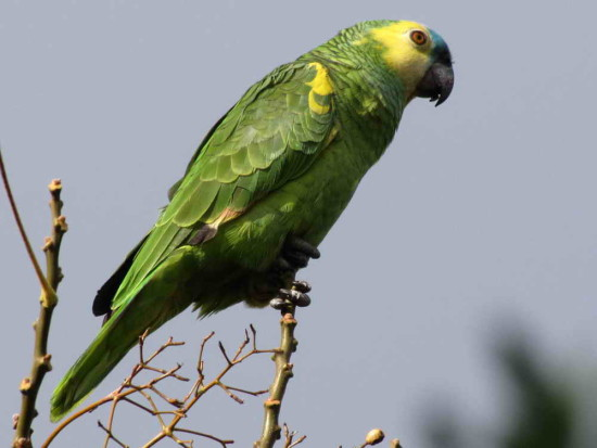 Loro hablador/Turquoise-fronted Parakeet