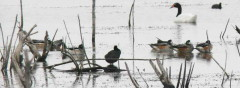Pato overo/Southern Wigeon