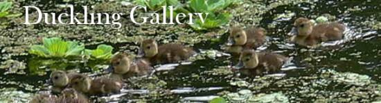 Duckling gallery