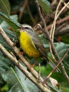 Arañero-coronado-chico/Golden-crowned Warbler
