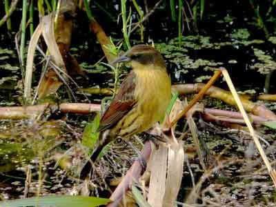 Varillero-negro/Unicolored Blackbird