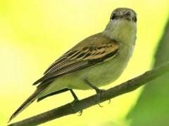 Anambé-común/White-winged Becard