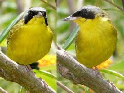 Arañero-cara-negra/Masked Yellowthroat