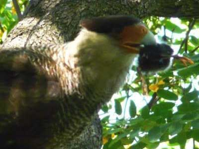Carancho/Southern-crested Caracara