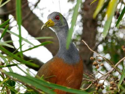 Chiricote/Gray-necked Wood-Rail
