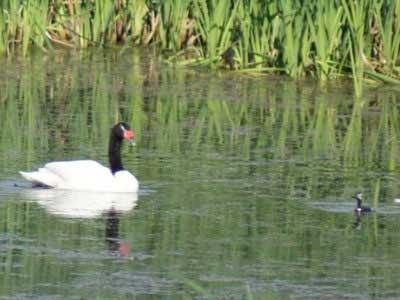 Cisne-macá/Swan-Grebe