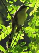 Cuclillo-canela/Dark-billed Cuckoo